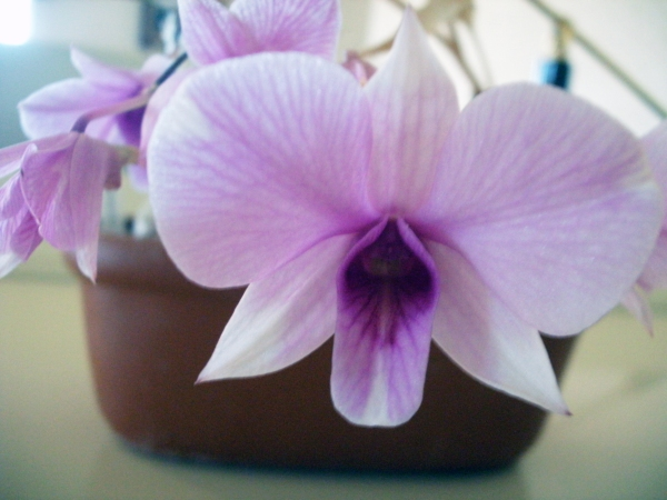 Lavendar miniature orchid in a clay pot